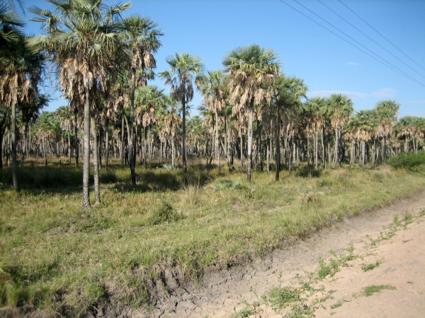 Palms outside Asuncion